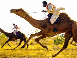 Camel Run In Bikaner