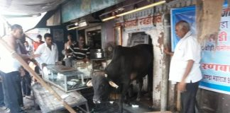 मोहता चौक स्थित रबड़ी की दुकान में घुस सांड को बाहर निकालने के लिए मशक्कत करते दुकानदार। फोटो : सत्यनारायण जोशी ९०२४२६७८९५